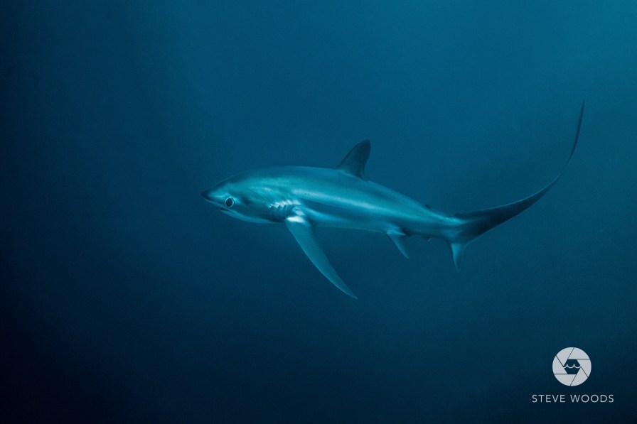 Thresher shark in Malapascua. Photo credit: Steve Woods