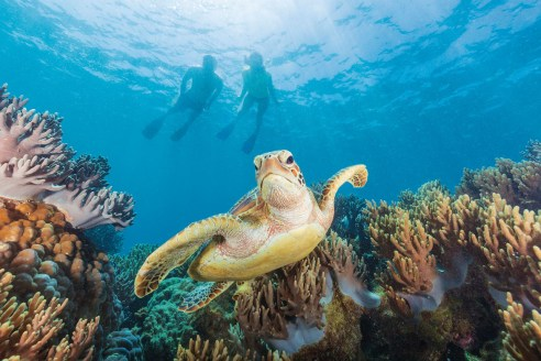 Turtle on Southern Great Barrier Reef Credit Tourism and Events Queensland