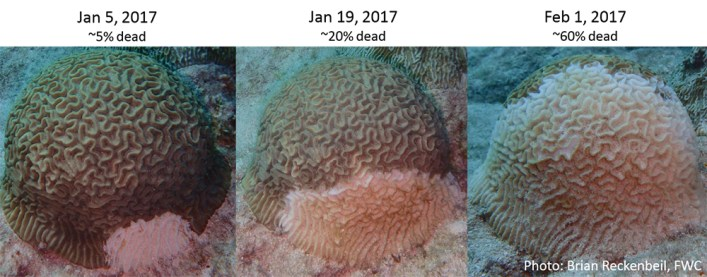 Stony coral tissue loss disease progresses rapidly once stony corals are infected. This coral lost 60 percent of its living tissue over the course of roughly a month. Photos: Brian Reckenbeil/Florida Fish and Wildlife Conservation Commission