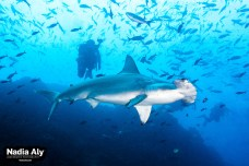 Walls of hammerheads are common at Wolf Island, although you'll likely see at least a few on every dive at both sites. Photo credit: Nadia Aly