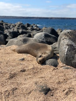 A sea lion sunbathes on the sand at North Seymour Island. Photo credit: Rebecca Strauss