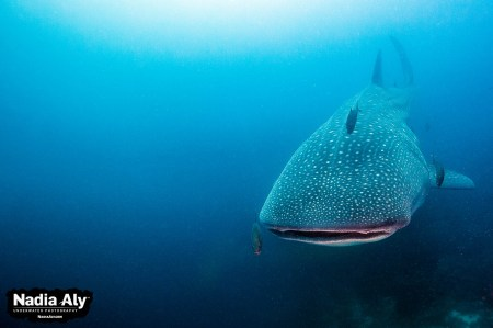 Whale sharks are common at Darwin's Arch each year from June through November. We were lucky to see three on one dive in April, however. Photo credit: Nadia Aly