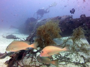 Gold-spotted sweetlips at Airacobra Wreck