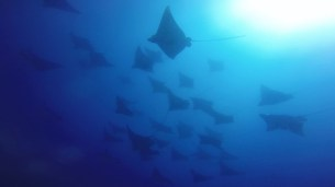 Eagle Rays at Wolf Rock - Credit Wolf Rock Dive Centre