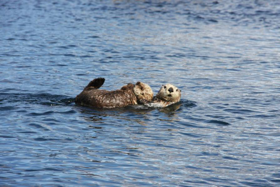 A mother sea otter and her pup rest in Olympic Coast National Marine Sanctuary. Photo credit: Jessica Hale