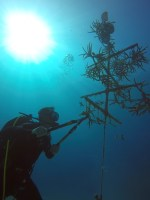 A diver working on a coral tree (Photo credit: Melissa Altenburger)