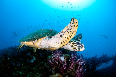 The SS Yongala attracts all manner of marine life, including hawksbill turtles, which are common on the wreck (Photo: Nadia Aly)