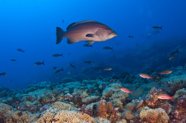 The quantity of large groupers in the sanctuary is a sign of healthy reefs. Yellowmouth groupers are some of the most frequently seen, but many other species are also present. (Image: FGBNMS/G.P. Schmahl)