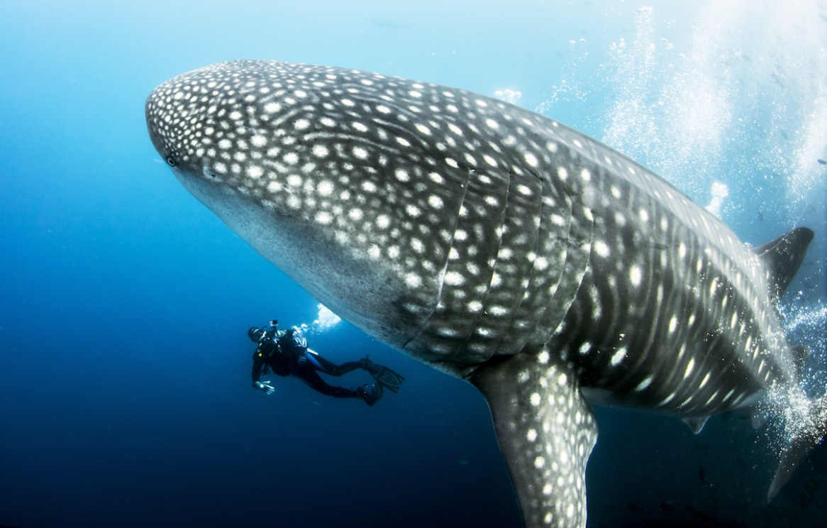 It's peak whale-shark season in the Galapagos (image courtesy of LiveAboard.com)