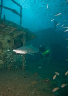 NOAA-UBOAT-143 NOAA diver tracks a sand tiger shark as it circles U-85. (Photo: NOAA)