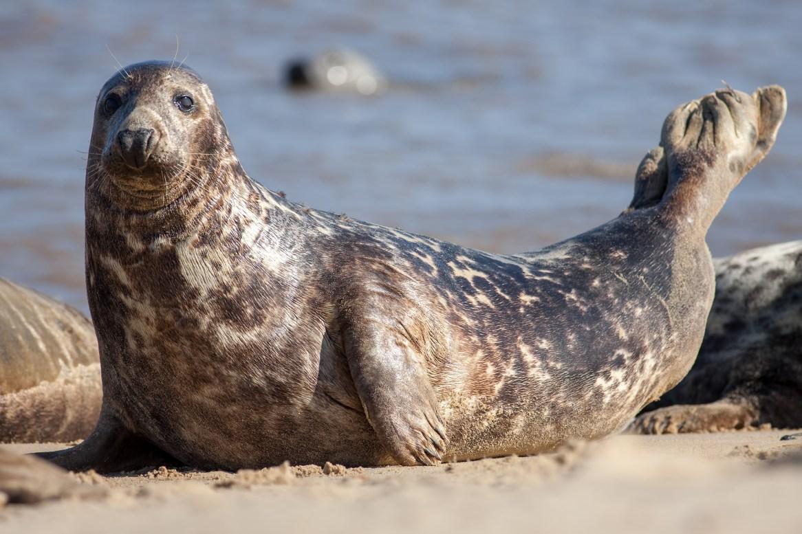 grey seal_England