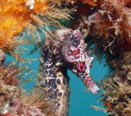 A seahorse in Chowder Bay (Photo: Jayne Jenkins)