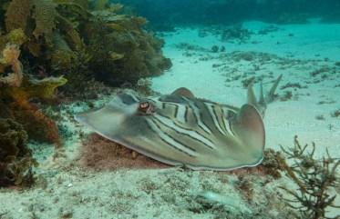 A fiddler ray at Shelly Beach (Photo: Jayne Jenkins)
