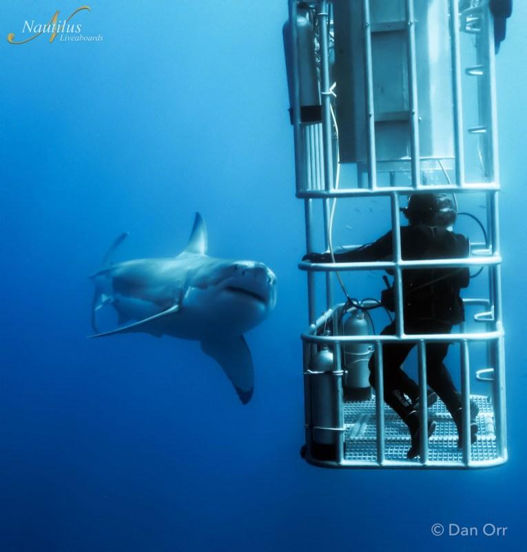 great white shark diving