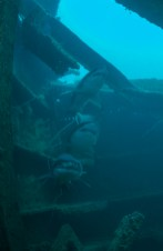 Divers frequently encounter sand-tiger sharks at the wreck site of Tamaulipas. Photo: Joe Hoyt, NOAA