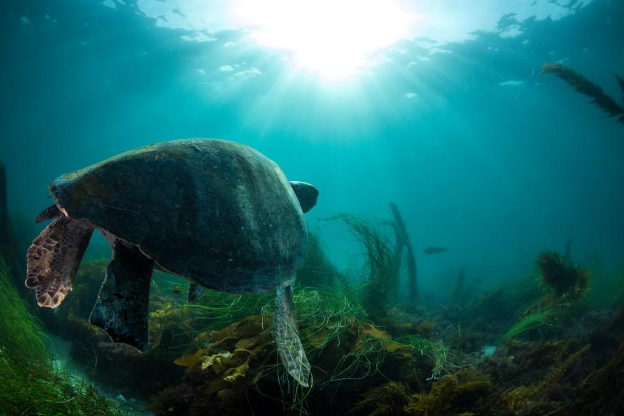 southern california sea life sea turtle