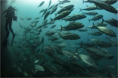 Schooling jacks on the ex-HMAS Tobruk (Photo: Tracy Olive)