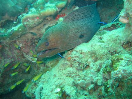 Most dives feature morays (courtesy of author)