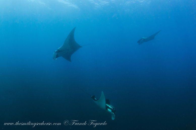 giant oceanic manta rays