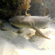 nurse-shark-aruba