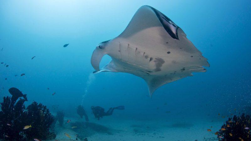 Oceanic elasmobranchs diving towards extinction