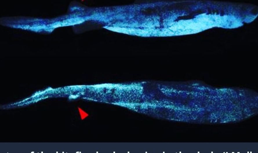 Scientists Discover Glow-In-The-Dark Sharks Off New Zealand