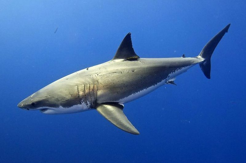 California great white sharks boosted
