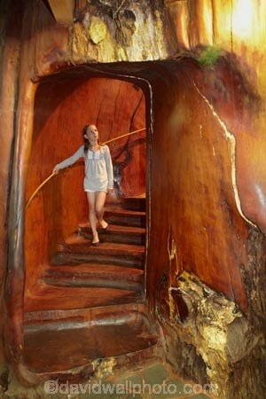 Girl on staircase inside a giant kauri tree, Ancient Kauri Kingdom, Awanui, near Kaitaia, Far North, Northland, North Island, New Zealand
