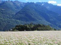 campo di grano saraceno e contesto territoriale di riferimento - fotografia di Raetia Biodiversità Alpine