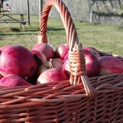 Raccogliere le mele dall'albero al Frutteto di Ceriano Laghetto