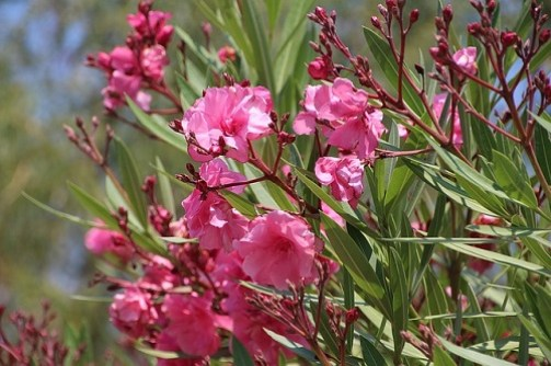 piante a lunga fioritura oleandro