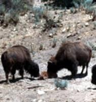 Walt Disney donated his herd of American bison to Hart Park in 1962.
