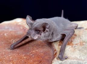 Mexican free-tailed bat | Courtesy Evelyne Vandersande