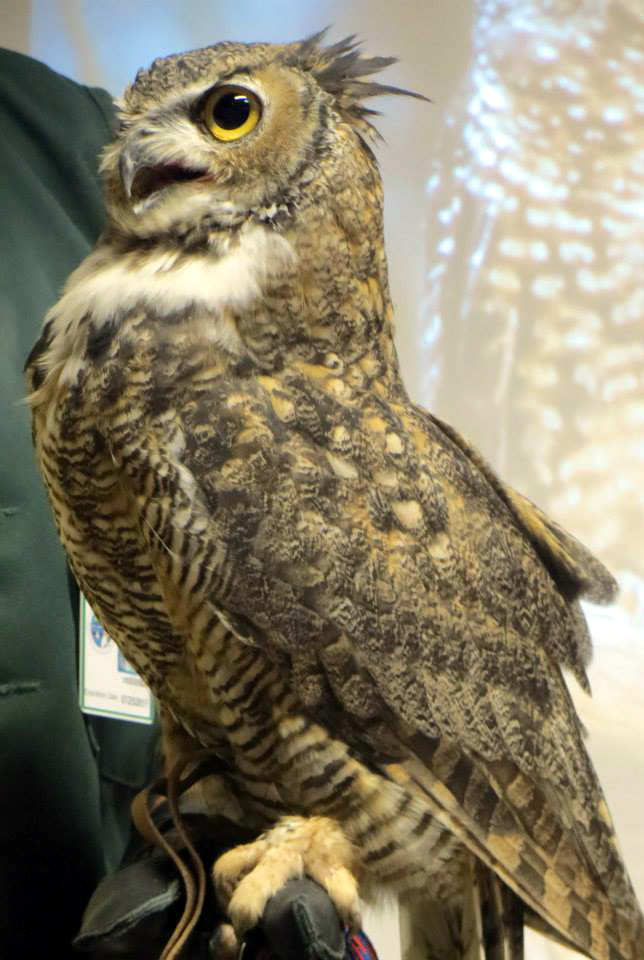 SCVNews.com | Opinion/Commentary: Placerita Mascot: The Great Horned ...