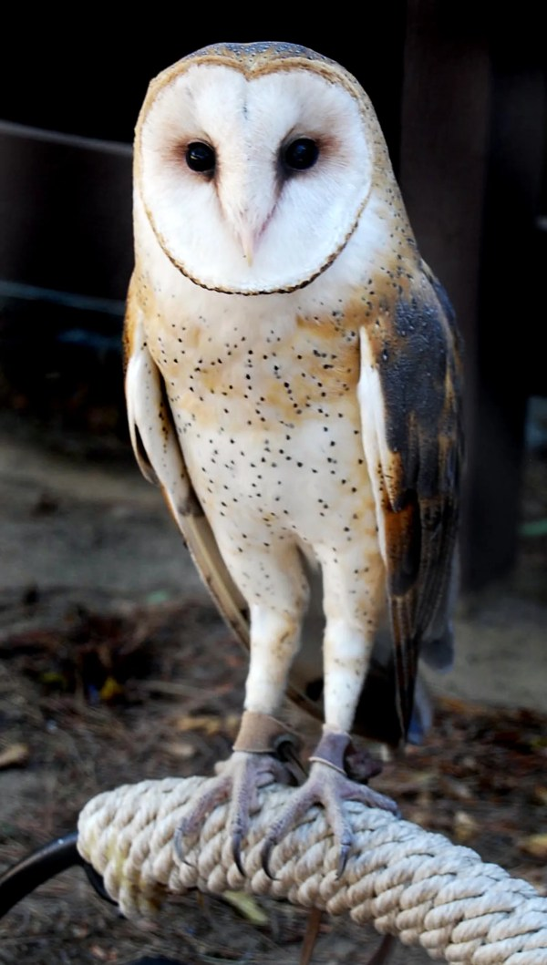 SCVNewscom OpinionCommentary Barn Owl Beautifully