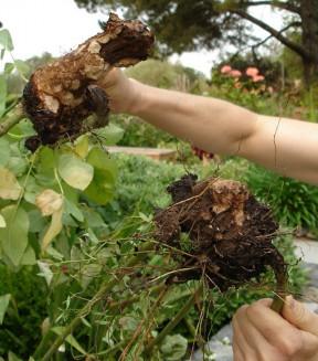 Damaged rose root balls