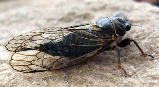 cicada4