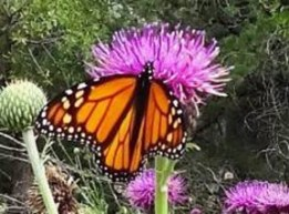 A monarch butterfly with bright orange coloring to serve as a warning to potential predators that it is poisonous and to stay away.