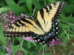 The tails on the tiger swallowtail seem like an easy handle by which to grab the butterfly but they break off allowing the butterfly to escape predation.