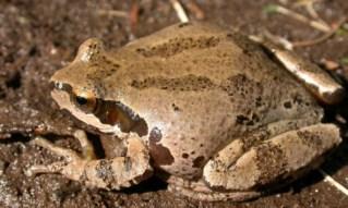 Pacific Chorus Frog 2