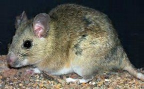 The woodrat is also known as a pack rat.