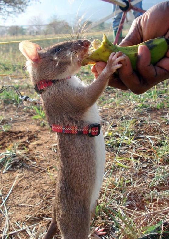 Rats10