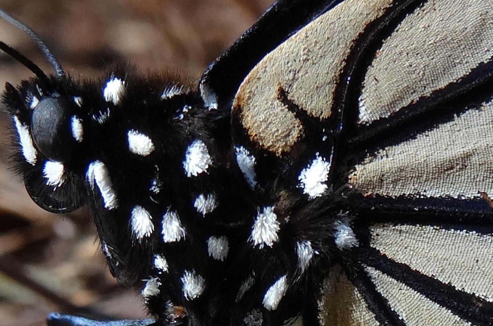 Monarch butterfly body - photo#41