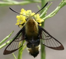 Fig. 10: The hummingbird or bumble bee hawk moth is a small daytime flyer with relatively clear wings except for the edges. This moth was nectaring (feeding) on black mustard in Placerita Canyon.