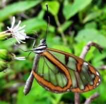 Fig. 11: Clearwing butterfly photographed in Ecuador. Except for the edges, the remainder of the wings are clear.