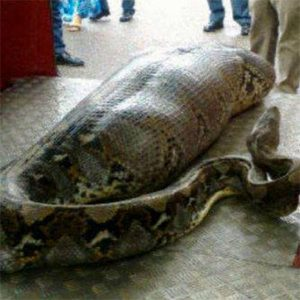Python ate a person in Thailand