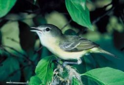 The Least Bell's Vireo is one species benefiting from the riparian restoration projects along the Santa Clara River. Photo: Steve Maslowski, USFWS
