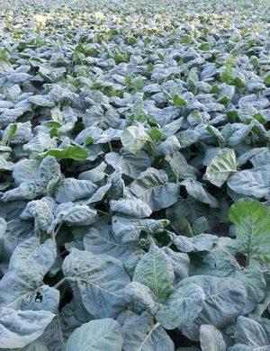 Tobacco growing in a field. | Photo: Shayan Kamal.