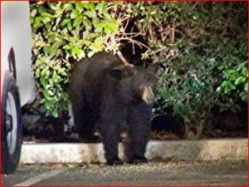 Bear in Santa Clarita. Photo: Mike McClure