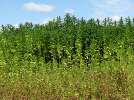 wilk - A field of industrial hemp. | Photo: Evelyn Simak/WMC 2.0